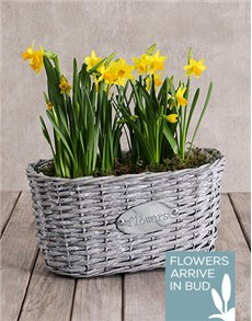 flowers: Double Daffodil Plant Basket!
