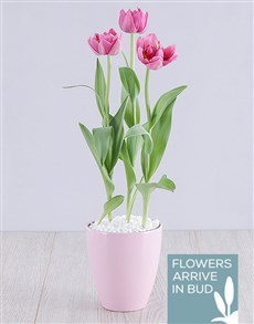 plants: Purple Tulip Plant in Pink Pot!