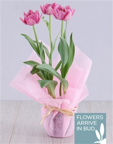 plants: Pink Tulip Plant in Pink Wrapping!