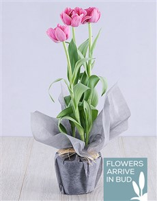 plants: Purple Tulip Plant in Grey Wrapping!