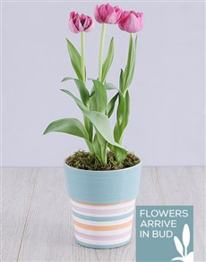 plants: Purple Tulip Plant in Striped Pot!