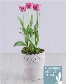 flowers: Purple Tulip Plant in Cement Lace Pot!