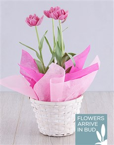 plants: Purple Tulip Plant Basket!