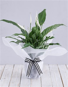 gifts: Spathiphyllum in White Tissue Paper!