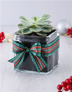 gifts: Christmas Succulent in Square Vase!