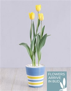 flowers: Yellow Tulip Plant in Striped Pot!
