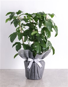 gifts: Granadilla Fruit Tree Plant in Tissue Paper!