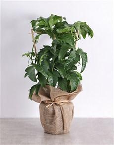 gifts: Granadilla Fruit Tree Plant in Hessian!