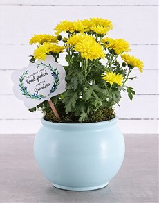 gifts: Grandma Chrysanthemum in Blue Pottery!
