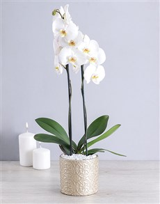 flowers: White Phalaenopsis Orchid in Round Pot!