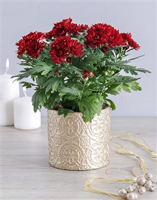 plants: Maroon Chrysanthemum Pot!