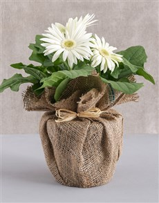 gifts: Mini Gerbera Plant in Hessian Wrapping!