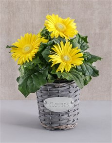 plants: Mini Gerbera Plant in Flower Basket!