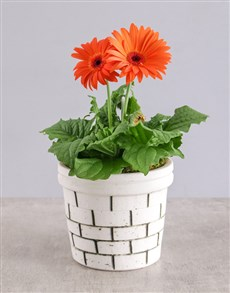 flowers: Mini Gerbera Plant in Brick Pot!