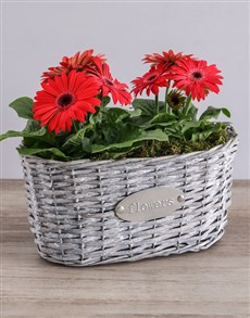 gifts: Mini Gerbera Plant Basket!