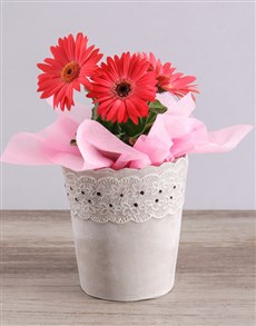 flowers: Mini Gerbera Plant in Lace Pot!