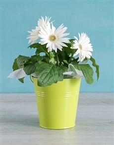 flowers: White Mini Gerbera Plant Bucket!