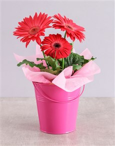 plants: Pink Mini Gerbera Plant Bucket!