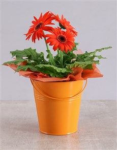 plants: Orange Mini Gerbera Plant Bucket!