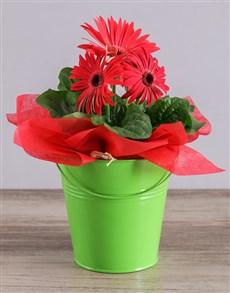 plants: Red Mini Gerbera Plant Bucket!