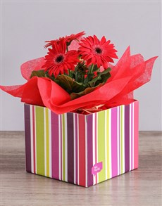 flowers: Red Mini Gerbera Plant Box!