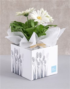 flowers: White Mini Gerbera Plant Box!
