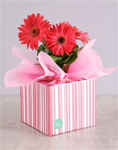 flowers: Pink Mini Gerbera Plant Box!