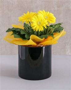 plants: Mini Gerbera Plant in Black Solid Vase!