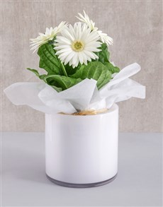 plants: Mini Gerbera Plant in White Solid Vase!