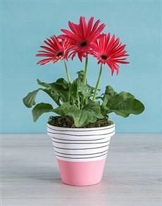 plants: Pink Mini Gerbera Plant in Striped Pot!