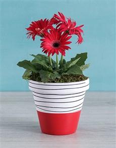 plants: Red Mini Gerbera Plant in Striped Pot!