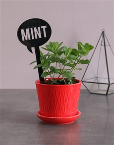 plants: Herb Plant in Red Pot !