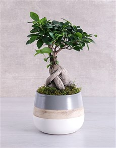 plants: Ficus Bonsai Tree in Striped Pot!