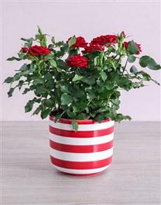 plants: Red Rose Bush in Striped Pot!
