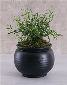 flowers: Rosemary Plant in Black Pottery!