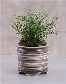 flowers: Rosemary Pot Plant!