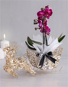 plants: Phalaenopsis Orchid in Golden Sleigh!