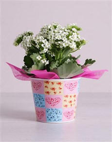plants: Kalanchoe in Pink Hearted Container!
