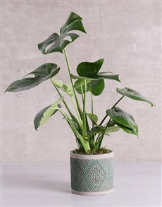 plants: Monstera Plant in Green Patterned Vase!