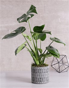plants: Monstera Plant in Black Patterned Vase!