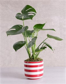 flowers: Monstera Plant in Red Striped Vase!
