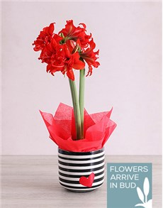 plants: Red Amaryllis Plant in Striped Heart Pot !