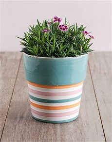 plants: Mini Dianthus in Striped Pot!