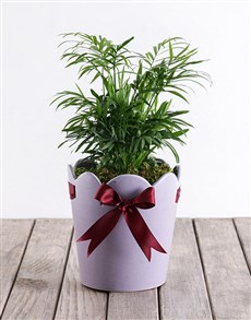 plants: Areca Bamboo in Purple Pottery!
