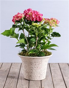 plants: Pink Hydrangea in Rockstone Pot!
