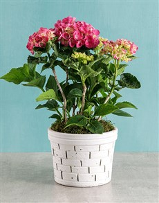 plants: Pink Hydrangea in Brick Pot!