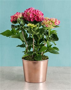 plants: Pink Hydrangea in Cleo Pot!