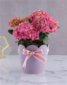plants: Pink Hydrangea in Scollip Pottery!