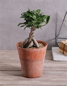 plants: Bonsai in Terracotta Pot!