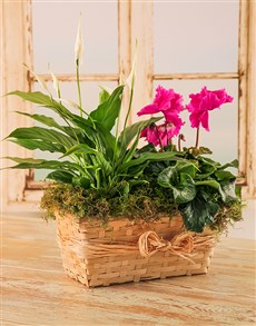 flowers: Plant Duo in a Wicker Basket with Raffia!